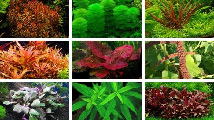 acquario olandese piante