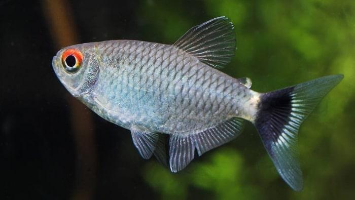pesce fanalino