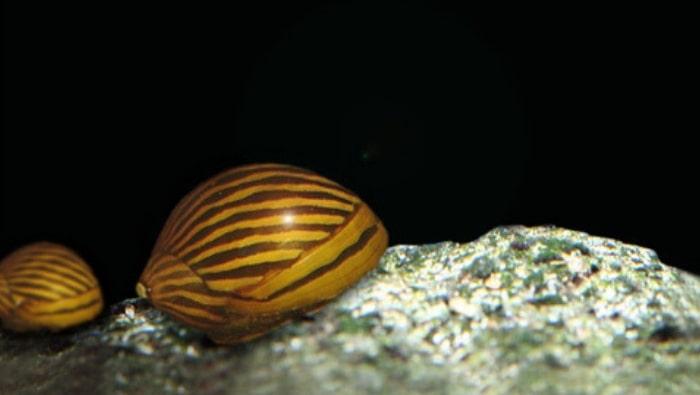 Neritina-natalensis
