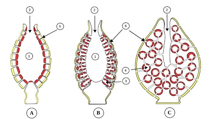 Porifera_anatomia