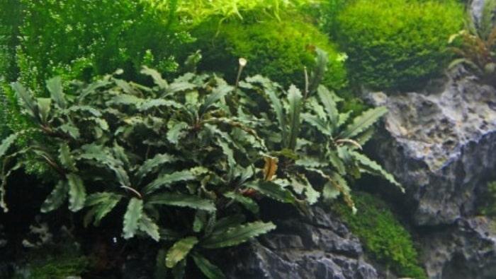 bucephalandra-sp-wavy-leaf