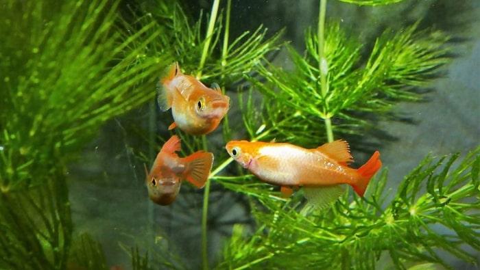 medaka ricefish
