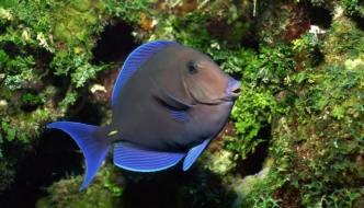 Acanthurus coeruleus mentre bruca alghe