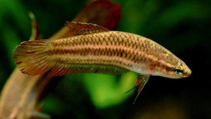 betta coccina femmina