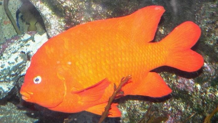 pesce Garibaldi Hypsypops rubicundus
