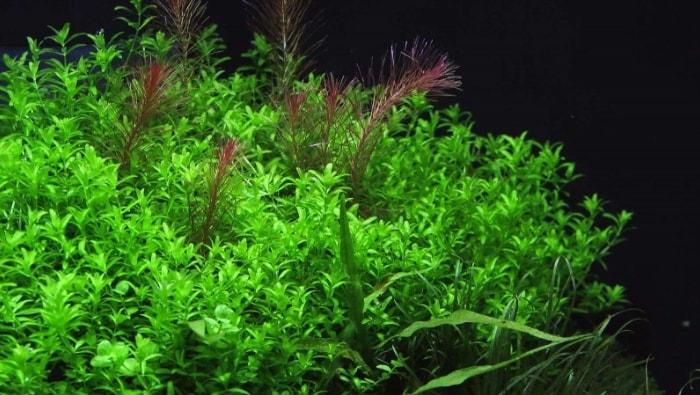 Micranthemum micranthemoides