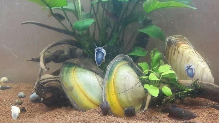 bivalvi in acquario