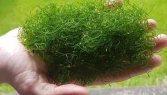 alga Chaetomorpha