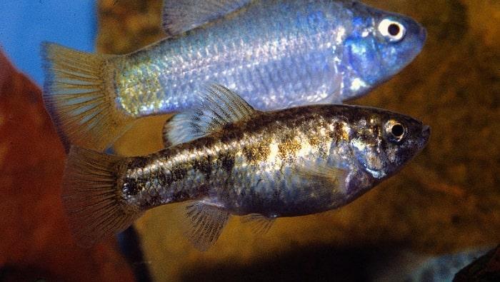 maschio e femmina di Cyprinodon macularius