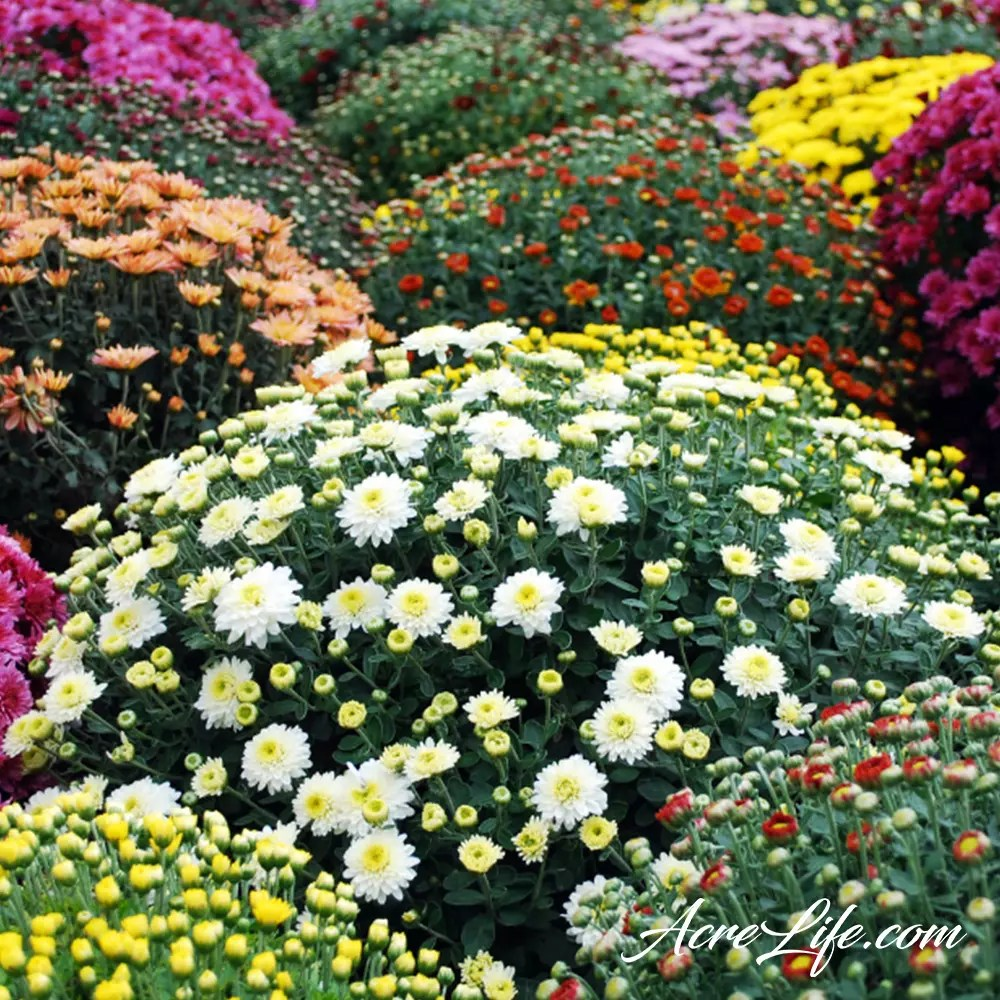 Chrysanthemums When To Plant Garden Mums Acre Life