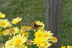 little-butterfly-at-waskesiu-park-office