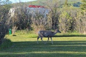 mule deer walking across a grassy area