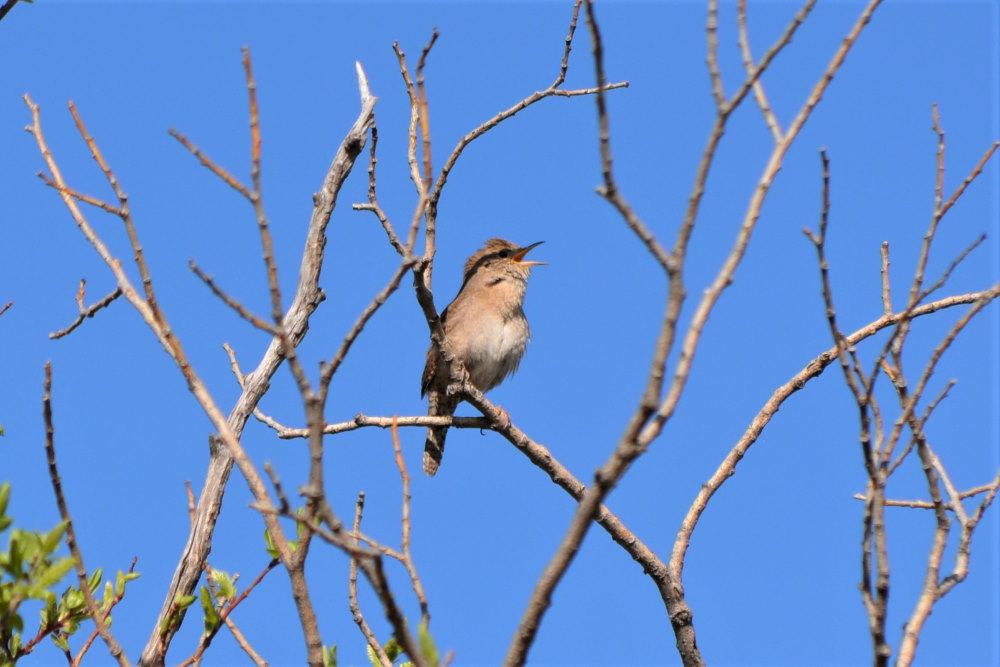 winter wren singing in a dead tree