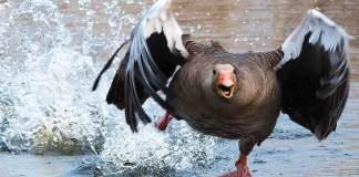 El creciente número de gansos que ocupan varios parques populares de Denver, en Colorado, en Estados Unidos, ha llevado a las autoridades locales a poner en marcha rodeos para cazarlos con el objetivo de acabar con un problema de salud pública y, de paso, alimentar a personas pobres de la ciudad.
