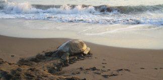 Las secretarías de Medio Ambiente (SEDEMA) y Seguridad Pública (SSP) reforzarán la vigilancia en 15 kilómetros de litoral entre las playas El Raudal, de Nautla, y El Laurel, en Vega de Alatorre, para proteger a las tortugas marinas que arriban para desovar.