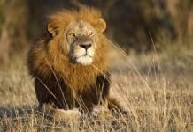 Un hombre murió este martes tras ser atacado por tres leones en una reserva privada al noreste de Pretoria, en Sudáfrica.