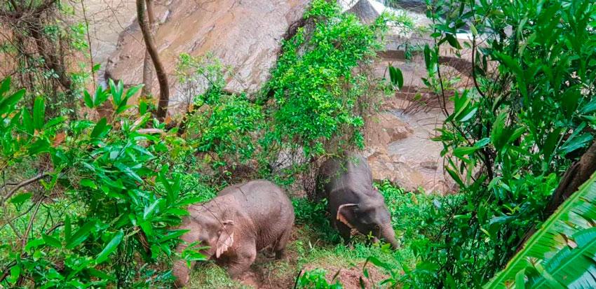 Al menos 11 elefantes de una misma manada murieron recientemente en la cascada Haew Narok, en el Parque Nacional Khao Yai, en Tailandia, al despeñarse cuando presuntamente trataban de rescatar a una cría que había caído primero.