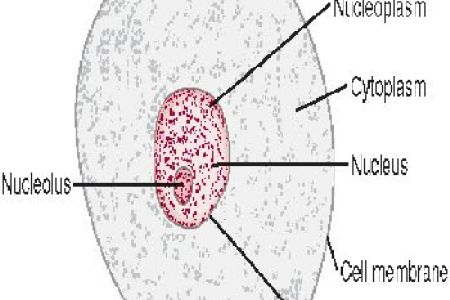 Diagram of animal cell for class 9 path decorations pictures co diagram of animal cell for class gynecology uterus labeled developing embryo in the illustrate only a plant cell as seen under electron microscope ccuart Image collections
