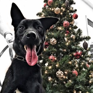 K-9 Kash in front of a Christmas tree