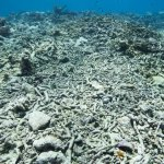 Ocean Warming Due to Climate Change Could Soon Imperil Coral Reef Restoration 19