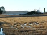 Bando de Garzas reales (Aredea cinerea) soleandose en campos de arroz junto a El Palmar / Grey Heron