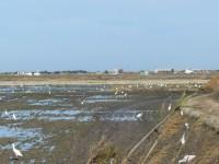"""Campo recién """"fanguejat"""" con presencia de ardeidas, limícolas y paseriformes de varias especies"""