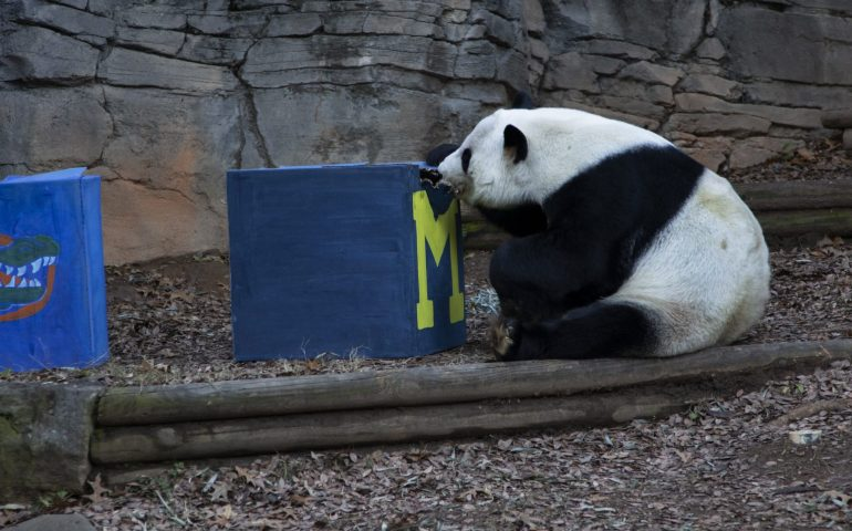 Panda Picks Michigan