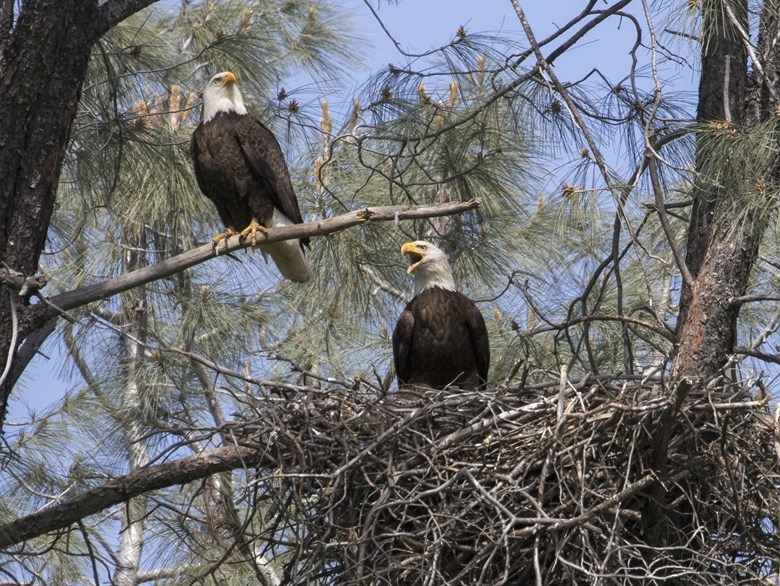 Lake Oroville Eagles Find New Home Following Spillway Crisis