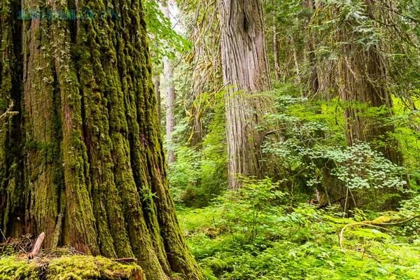 Grove of ancient cedars along the Suiattle River, Glacier Peaks Wilderness.  These trunks were 8-10 feet in diameter.