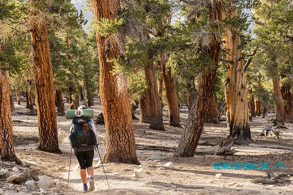Lauri walking among high elevation foxtail pine forest at 11,000 feet in Sequoia-Kings Canyon National Park along the PCT