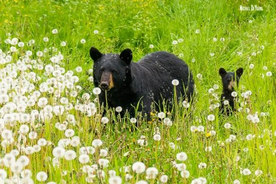 Wildlife image of mother black bear with her cub in dandelion field seen near Anchorage, Alaska
