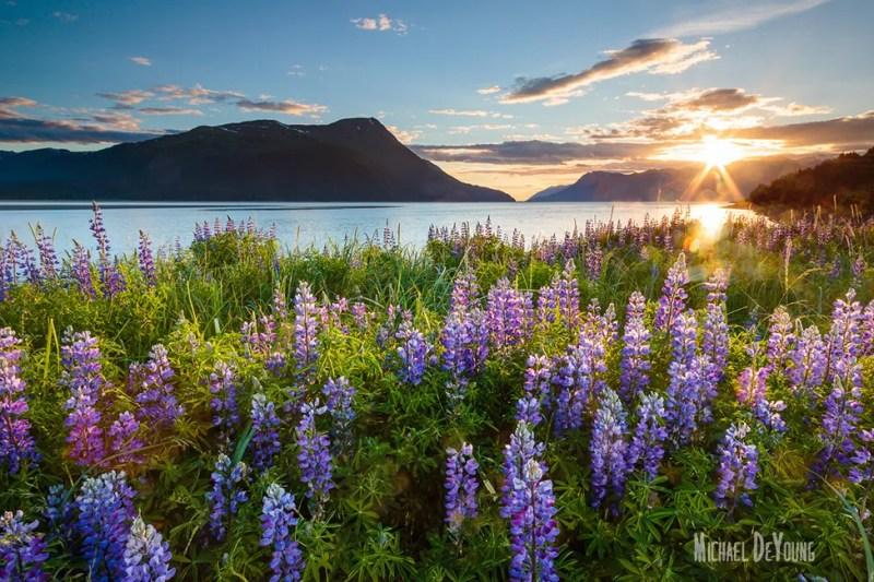 Alaska landscape - Lupine along Turnagain Arm by Michael DeYoung