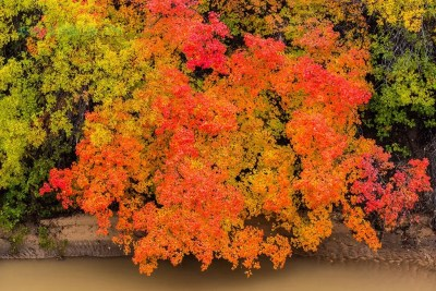 Multi-colored fall leaves on a dragon maple bush in east side of Zion National Park. © Michael DeYoung