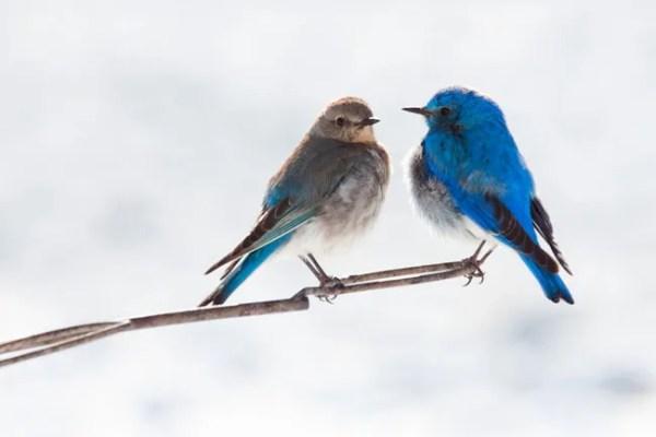 Pair of mountain bluebirds in winter portrait image