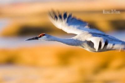 Close-up of sandhill crane in flight