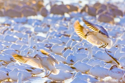 Snow geese find a place to land in crowded pond