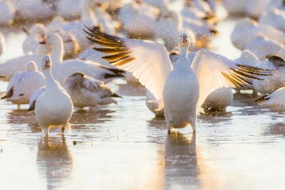 Snow goose stretching its wings
