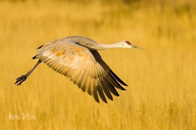 Sandhill Crane in flight with golden grasses in background