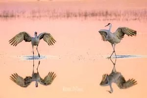 Sandhill Cranes mating dance ritual at Bosque del Apache