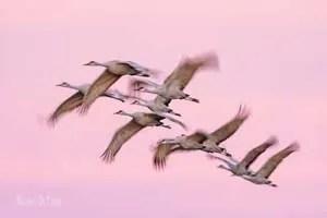 Sandhill Cranes in flight at sunset - Bosque del Apache NWR New Mexico