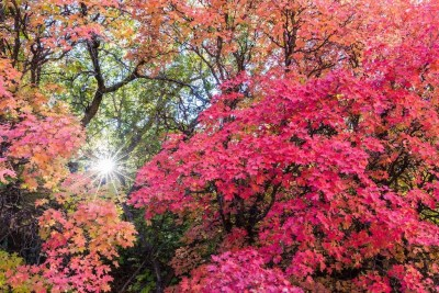 Sun star through fall colored dragon maples in Zion National Park © Michael DeYoung