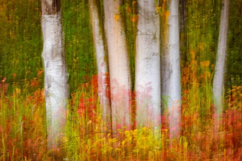 Motion blur of birch tree trunks with fall colored vegetation below. Anchorage, Alaska. ©Michael DeYoung