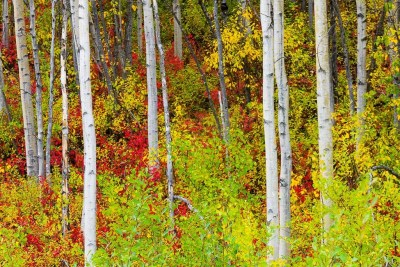 Fall colored understory in a birch forest © Michael DeYoung