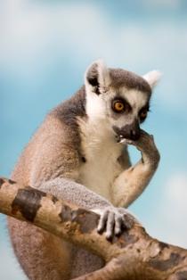 monkey listing ageng