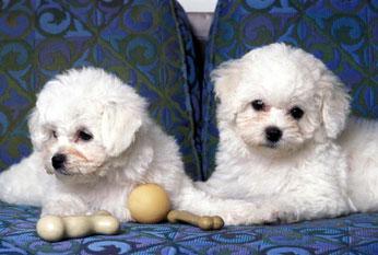 Frieze Carpet Named After Bichon Dog
