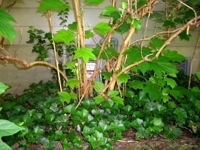 Gas Meter Behind shrubs