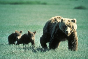 a female grizzly bear and two cubs in a field