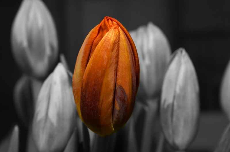 orange-tulip-flower-65660.jpeg