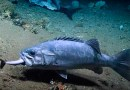 Captan a enorme pez comiéndose a un tiburón [VIDEO]