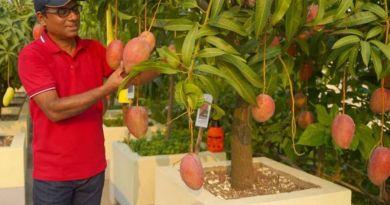 Bangladesh produce el mango más caro del mundo